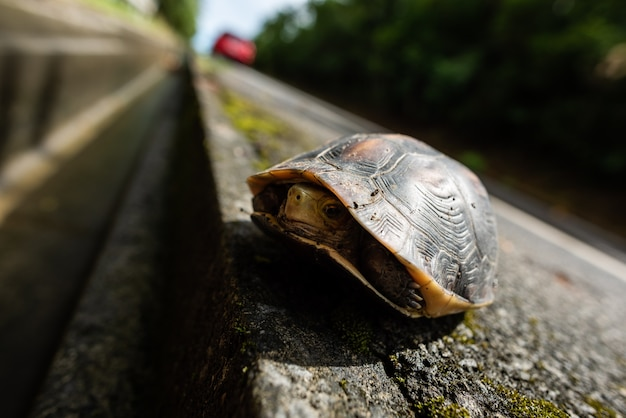 Closeup of a yellow-margined box turtle on the road side with its head into shell, a red car in the blurred background. wildlife protection.