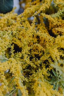 Closeup of yellow mimosa flowers