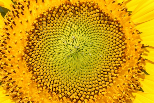 Closeup yellow sunflower pollen
