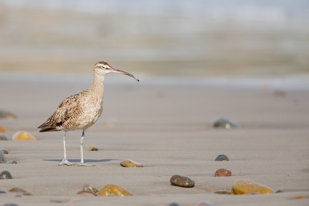Closeup of a young curlew bird with its long, slender beak, walking on the shore