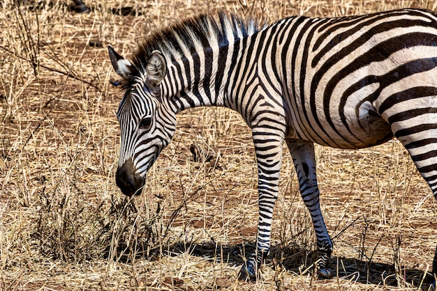 Closeup of a zebra in a field under the sunlight with a blurry background
