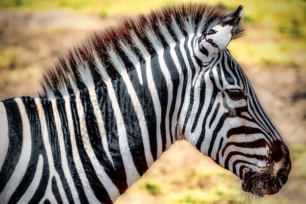 Closeup of a zebra in a field