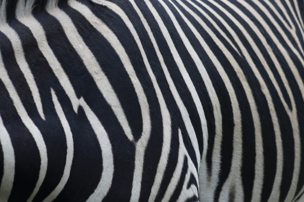 Closeup of a zebra fur