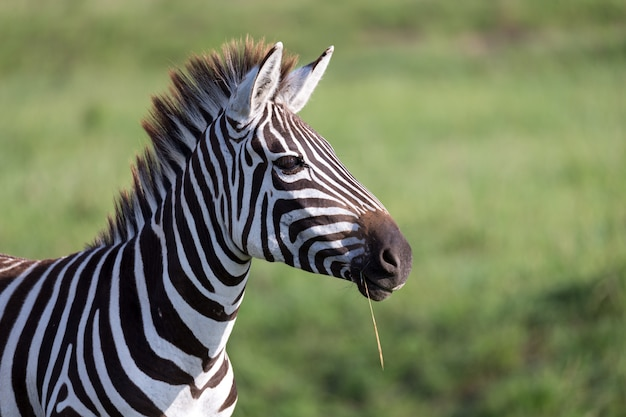 Closeup of a zebra in a national park