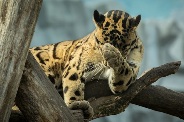 Clouded leopard is walking towards from the shadows to the light