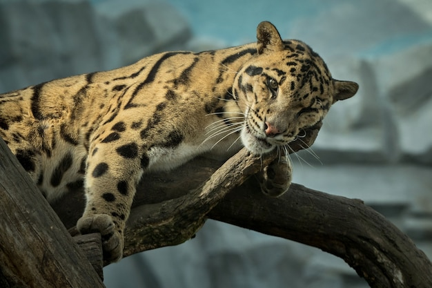 Clouded leopard is walking towards from the shadows to the light Free Photo