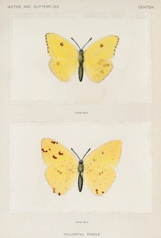 Cloudless sulphur (callidryas eubule) from moths and butterflies of the united states