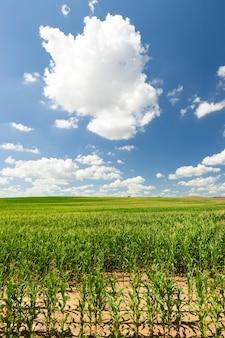 トウモロコシ畑の農業の上の雲と青い空