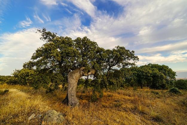 Cloudscape над каменными дубами в сельской местности.