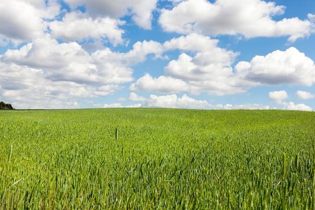 곡물, 풍경과 흐린 하늘색과 녹색 필드
