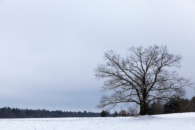 Cloudy winter landscape with white sky, snow and forest on the horizon, in the middle of the field grows old branched oak