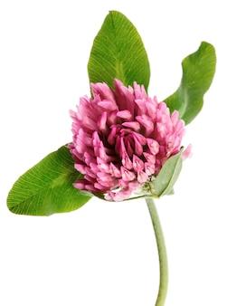 白い背景に分離されたクローバーの花