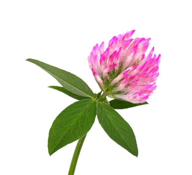 分離された緑の葉と茎のクローバーの花