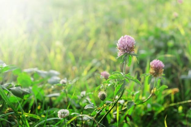 夏の草原、柔らかいボケ味のクローバーの花。