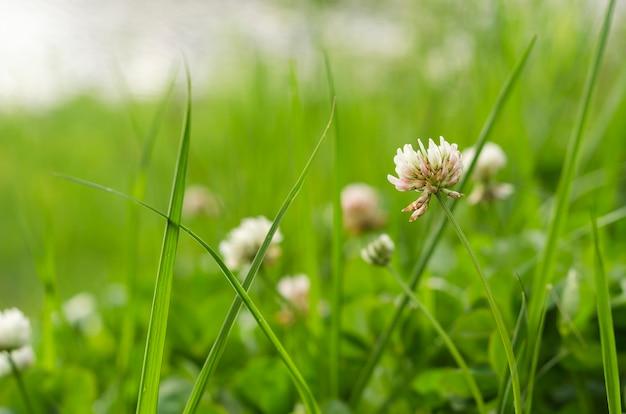 緑の葉のクローバーの花3