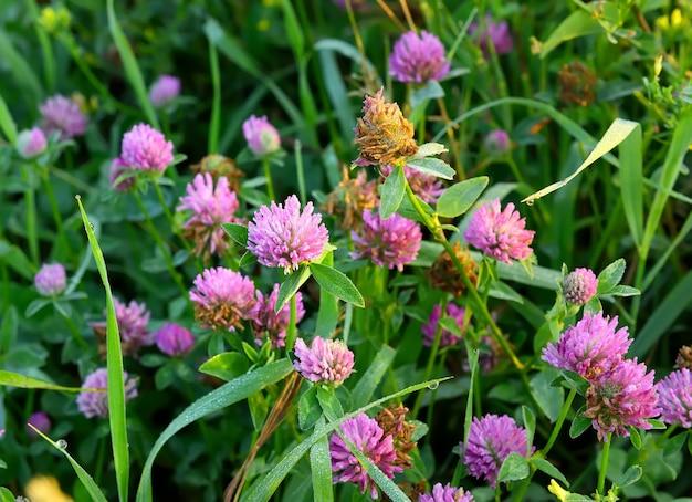草の中のクローバー。ピンクの野花、葉の露