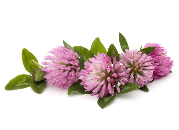白い背景の切り欠きに分離されたクローバーまたは三つ葉の花の薬草