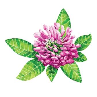 Клевер. розовый цветок, нарисованный акварелью.