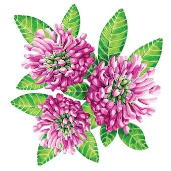 클로버. 수채화로 그린 흰색에 핑크 꽃입니다.