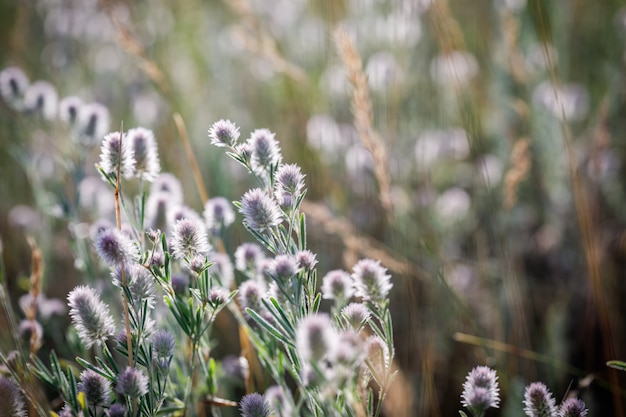 日の出のクローバーtrifolium arvense