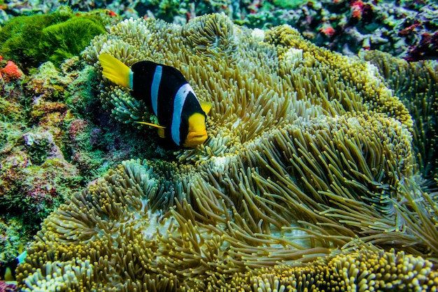 Clown anemone fish in thailand sea
