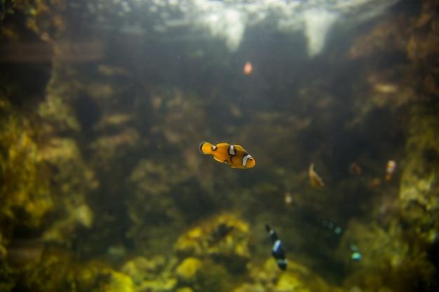 Clown fish in the aquarium