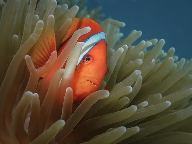 Рыба-клоун прячется в анемоне