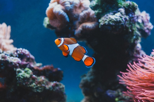 Clown fish and sea anemone and in aquarium. marine life.
