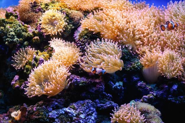 광대 물고기는 해양 수족관(amphiprion)에서 거품 말미잘 속에서 헤엄칩니다. 해양 및 바다 배경