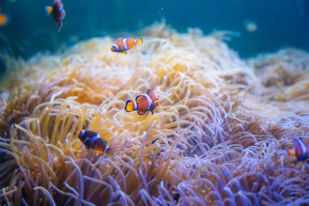Рыба-клоун или анемон плавают вокруг морских анемонов в море.
