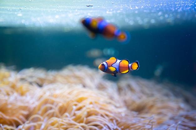 광대 또는 말미잘 물고기는 바다에서 말미잘 주위를 수영합니다.