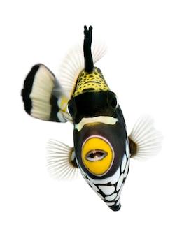 Clown triggerfish - balistoides conspicillum on white isolated