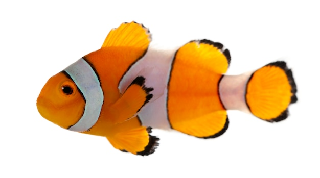 Clownfish, amphiprion ocellaris, on white isolated