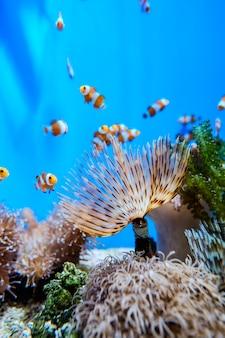 海洋水族館の水中ファンタジーのサンゴの周りのカクレクマノミ