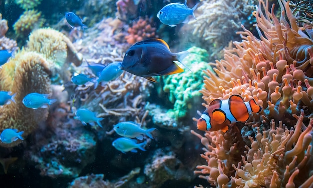Рыба-клоун ctenochaetus tominiensis и цихлиды голубой малави, плавающие возле корал дункан