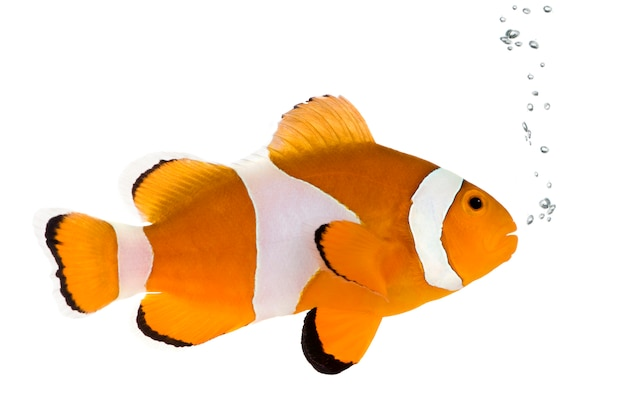 Clownfish in front on a white wall