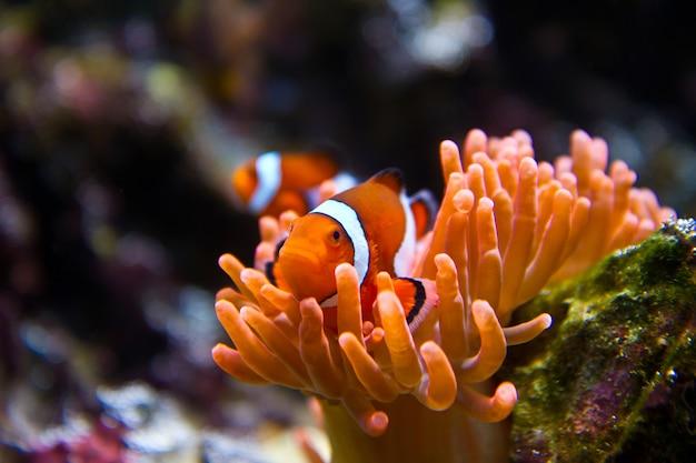 Рыба-клоун в морском аквариуме
