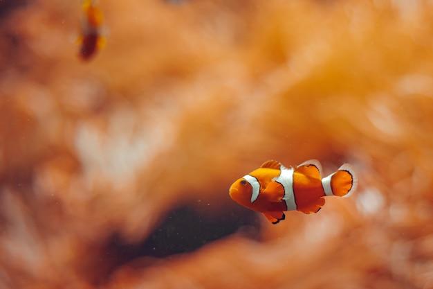 Clownfish. underwater wonderful world in orange color