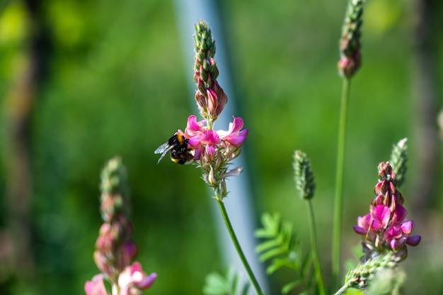 Clsoeup выстрел медоносной пчелы на красивом розовом цветке лаванды