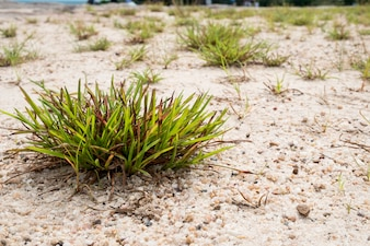 Clump of grass on the sand