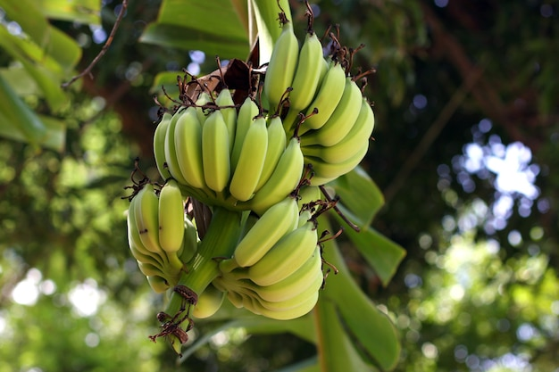 Cluster of green bananas on a palm tree