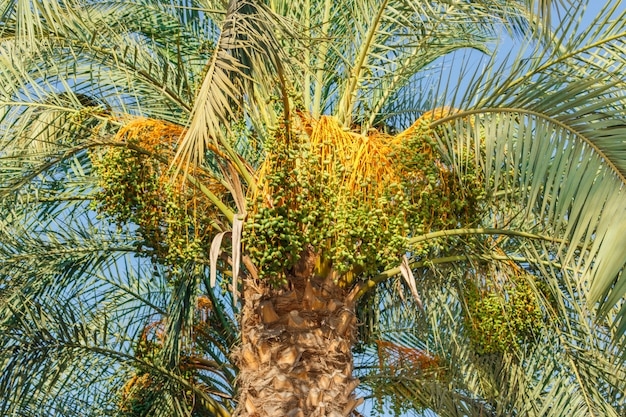 Cluster of green dates hanging from a date palm slowly ripening