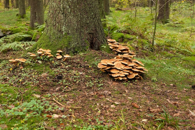 Cluster of many yellow wood-decay mushrooms growing on old stump in forest, poisonous fungus sulphur tuft