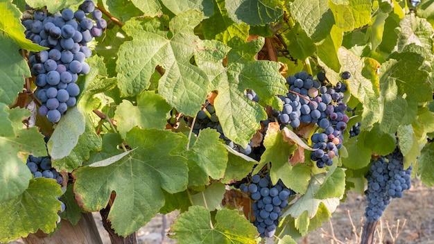 ブドウの房が収穫とワイン造りのためにクローズアップ