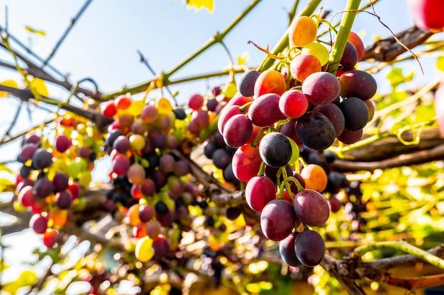 収穫が近づくにつれて熟すブドウのブドウ園のクラスター。つるにまだ残っているブドウのグループで、葉に紅葉があります。自然食品。ワイン作り
