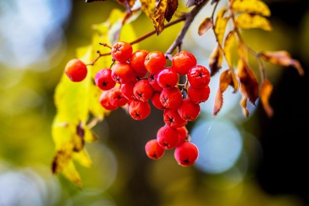 晴天時の木に赤いナナカマドの果実のクラスター
