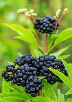 日光の下で庭にフルーツブラックエルダーベリー(sambucusnigra)をクラスター化します。一般名:エルダー、ブラックエルダー、ヨーロピアンエルダー、ヨーロピアンエルダーベリー、ヨーロピアンブラックエルダーベリー。