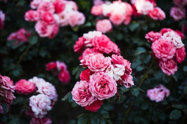 아름다운 장미 클러스터