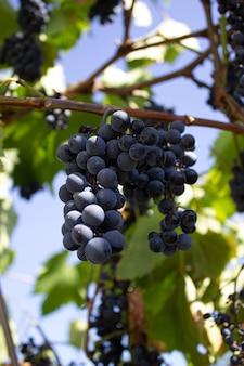 Грозди красного винограда на лозе. урожай винограда. виноделие.