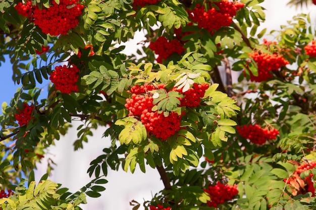 青い空を背景に葉の間の枝に熟したナナカマドの果実のクラスター